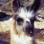 Ardèche Lamas
